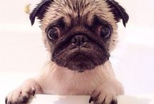 pugs / i chose pugs because, i have two pugs my self and i think that there so ugly that there cute! / by Courtney DeLaughter