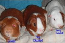 Guinea Pigs / Cute pics of piggies, Ideas for cages, health of the piggies and fun things. NO PIN LIMITS...Re-PIN as many as you wish!