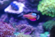 Aquarium / A collection of aquarium related images, inspirations, and pictures of my own saltwater reef tanks.