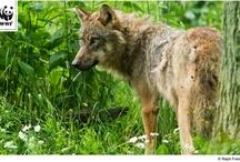 Der Wolf kehrt zurück #DialogWWF / by WWF Deutschland