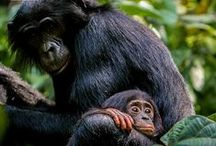 Rettet die Bonobos / Die Bonobos sind unsere nächsten Verwandet – und vom Aussterben bedroht. Gemeinsam können wir sie retten: http://www.wwf.de/bonobos-retten-pin #BonobosRetten