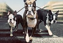 Boston fever! / Boston Terriers  / by Shanna D Photography