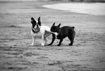 dogs / (ok, mostly boston terriers)