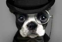 Boston Fever / Boston Terriers... You know I love them! / by Dusty Murphy