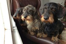 Wirehaired Doxies /     / by ★by Akkie★