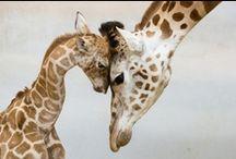 Giraffes / by Rikki Fowler
