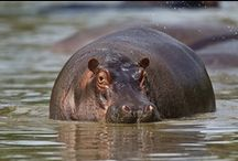 Hippos / by Rikki Fowler