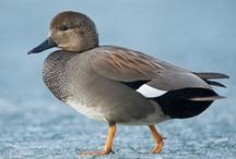 Anatidae: Ducks, Geese, Swans / by Rikki Fowler