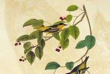 Audubon / Audubon and bird related prints.