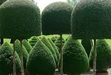 Boxwood / by Carole Maynard