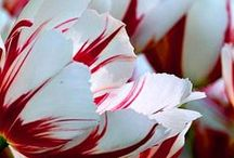 Tulips / Tulips from the Netherlands, really artistic approach by dik-design / by Francien