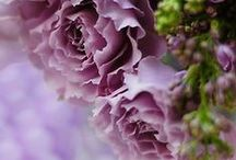 COLORS / Lavender Lilacs Violets and more / by Susan Edghill