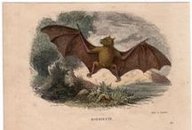 bat prints / 18th ~ 20th centruy bat lithograph and engravings..maybe one or two contemporary ones...