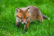Guineus / Foxes