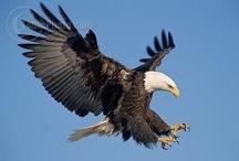 Àguiles / Eagles
