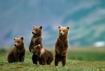 Ossos / Bears