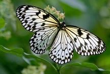 Papallones / Butterflies