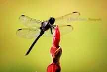 Espiadimonis / Dragonflys