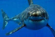 Taurons / Sharks