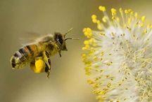 Abelles / Bees