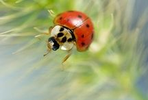 Marietes / Ladybugs