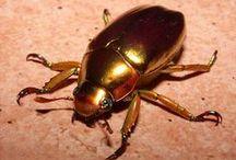 Beautiful Beetles and Bugs / by Catherine Jamieson