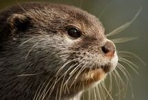 Draatsie (Also known as Otters) / In Shetland the ancient Norn name for Otters is Draatsie / by Catherine Jamieson