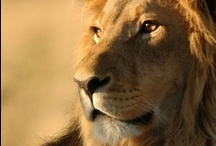 Big Wild Cats are Awesome / by Catherine Jamieson
