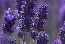 [  LOVING lavender  ] / by Monterey Bay Spice Company