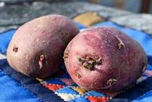 Homegrown Potatoes / Fresh from the garden, plain potatoes become a rare delicacy