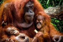 ♢ Orangutans / For the love of our critically endangered forest friends, say NO to Palm Oil <3 <3 <3 / by Iselilja ♢