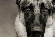 german shepherd! / Dogs