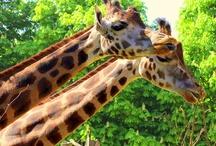 ANIMALS: GIRAFFES / by Marina S.