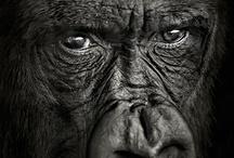 ANIMALS: APES / by Marina S.