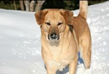 Chinook Dogs  - Outlaw Chinooks  / Chinook dogs