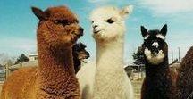 ALPACAS / We love alpacas - the amazing animals that give us our yarn. www.woolandthegang.com