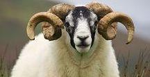 SHEEPISH / Sheepish love and wool respect to the li'l guys that make our sexy yarn. www.woolandthegang.com