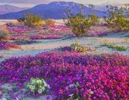 SUPER BLOOM / Death Valley Spring 2017 A rare experience, rainbows of blossoms burst forth for the first time in nearly two decades after heavy rains in the California desert.