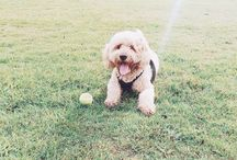 Frankie The Labradoodle / Pictures of Frankie a three year old Labradoodle, labradoodle, cute dog, dog, dogs, cute dog pictures, puppy