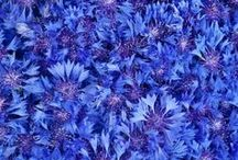 BLUE / indigo, blue from Ur, lapis lazuli blue, cornflower blue, ultramarine, Prussian blue, Paris blue