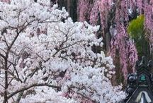 Sakura / If I were asked to explain the Japanese spirit, I would say it is wild cherry blossoms glowing in the morning sun! • Motoori Norinaga (1730-1801), nativist thinker and poet