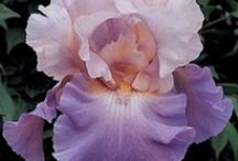 Flowers/Iris
