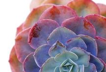 SUCCULENTS / by Nicole Rose