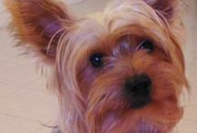 My Yorkie - Chester / by Tricia Fling
