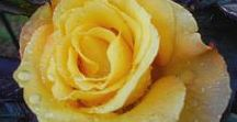 Rose Portraits / Items from the Master Gardener ...