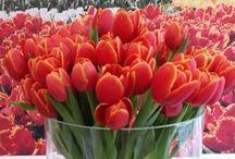 Tulips...I Love! / Tulips! Tulips! Gorgeous tulips!