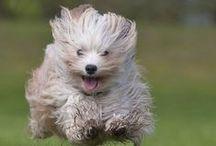 Puppy Love / Havanese dogs. True love