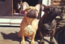 French Bull Dogs What? / by Jacina Serbalik