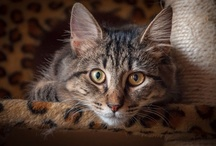 Bengals, Maine Coons, Ragdoll Cats, and More - My Feline Family / My family of fabulous cats - Zoey my Bengal, Zee my Maine Coon, the kittens - Mia, Peanut, and Rolz, Jazz my Ragdoll, and my rescues - Kizmet and Harley