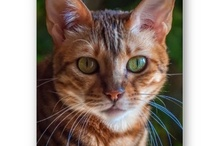 Zee & Zoey's Zazzle Boutique for Cat Lovers! / A stunning variety of cat related products from cat greeting cards to cat calendars - all featuring the stunning images of the Zee & Zoey cats!